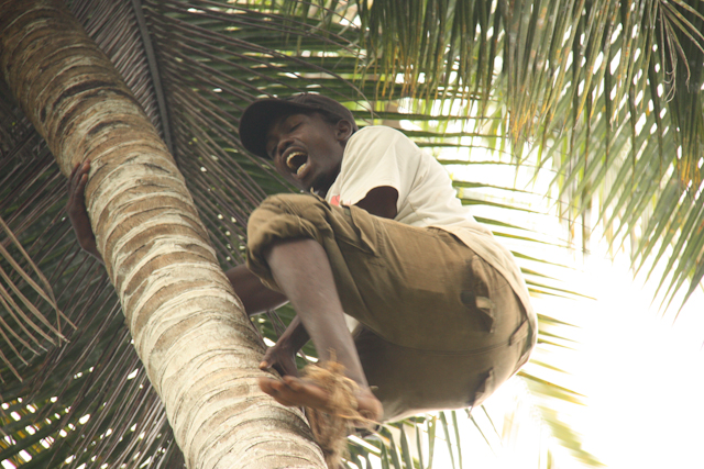 In a coconut tree