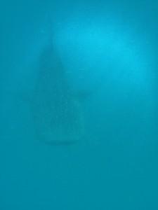Whale shark nr 1